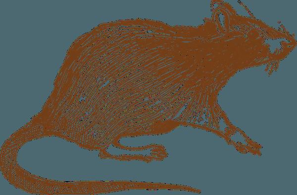 rat-picture2